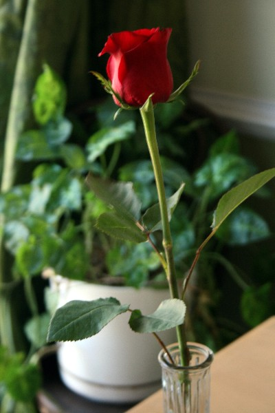 My_valentine_rose